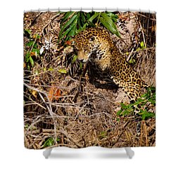 Jaguar Vs Caiman 2 Shower Curtain