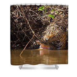 Jaguar Vs Caiman Shower Curtain