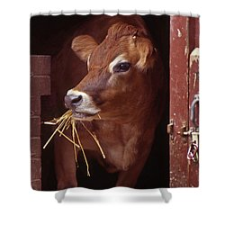 Jersey Cow Shower Curtain by Skip Willits