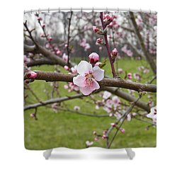 Just Peachy 3 Shower Curtain by Nick Kirby