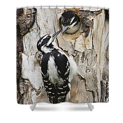 Juvenile Hairy Woodpecker Is Fed Shower Curtain by Ray Bulson