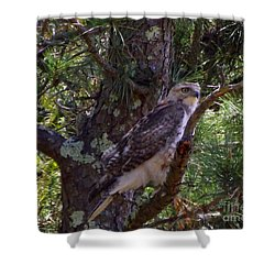 Juvenile Red-tailed Hawk Shower Curtain by CapeScapes Fine Art Photography