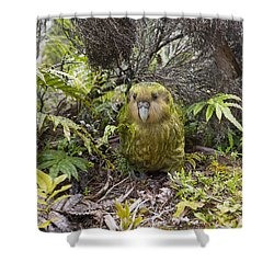 Shower Curtain featuring the photograph Kakapo Male In Forest Codfish Island by Tui De Roy