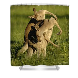 Kangaroos Taking A Bow Shower Curtain by Bob Christopher