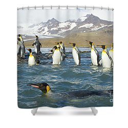 King Penguins Swimming St Andrews Bay Shower Curtain by Yva Momatiuk John Eastcott