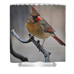 Lady Cardinal Shower Curtain by Skip Willits