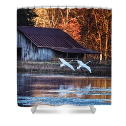 Landing Trumpeter Swans Boxley Mill Pond Shower Curtain by Michael Dougherty