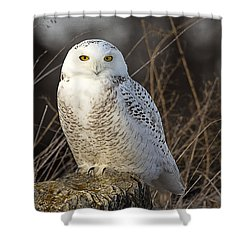 Late Season Snowy Owl Shower Curtain by John Vose