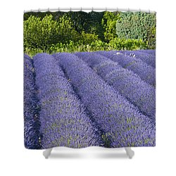 Lavender Rows Shower Curtain by Bob Phillips