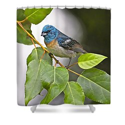 Lazuli Bunting 3a Shower Curtain by Sharon Talson