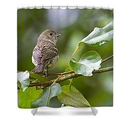 Lazuli Bunting Female 2 Shower Curtain by Sharon Talson