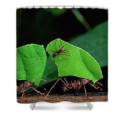Leafcutter Ant Atta Sp Group Workers Shower Curtain by Michael and Patricia Fogden