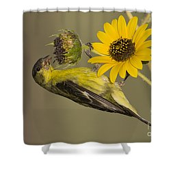 Lesser Goldfinch On Sunflower Shower Curtain
