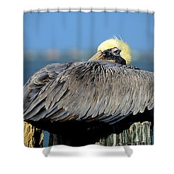 Let Sleeping Pelicans Lie Shower Curtain