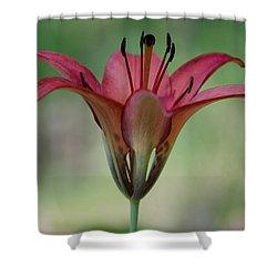 Lillium Philadelphicum Shower Curtain