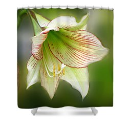 Lily Shower Curtain by Phil Penne