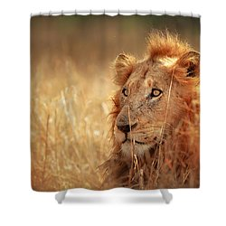 Lion In Grass Shower Curtain by Johan Swanepoel