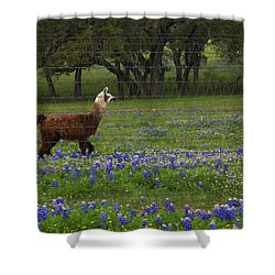 Llama In Bluebonnets Shower Curtain by Susan Rovira