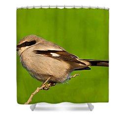 Loggerhead Shrike Shower Curtain