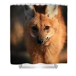 Looks Like A Fox Shower Curtain by Karol Livote