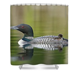Loon Chick With Parent - Quiet Time Shower Curtain by John Vose