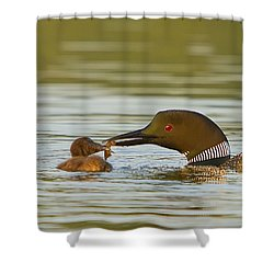 Loon Feeding Chick Shower Curtain by John Vose