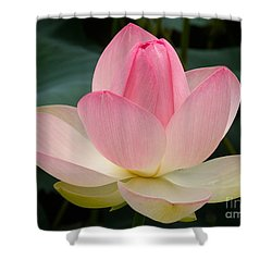 Lotus In Bloom Shower Curtain