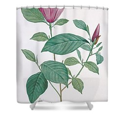 Magnolia Discolor Engraved By Legrand Shower Curtain by Henri Joseph Redoute