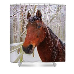 Majestic Morgan Horse Shower Curtain