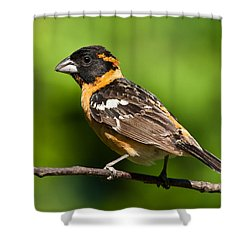 Male Black Headed Grosbeak In A Tree Shower Curtain