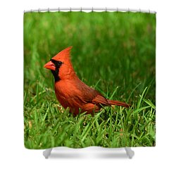 Male Cardinal Shower Curtain by Bob Sample
