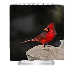 Male Cardinal Shower Curtain by Gary Langley