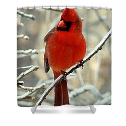 Shower Curtain featuring the photograph Male Cardinal  by Janette Boyd