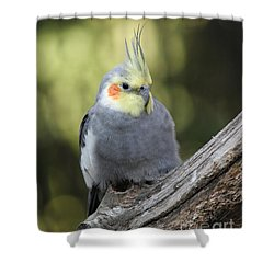 Shower Curtain featuring the photograph Male Cockatiel by Judy Whitton