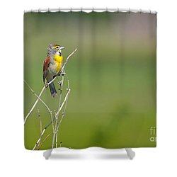 Male Dickcissel Shower Curtain