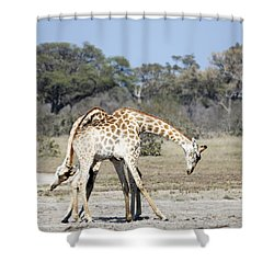 Shower Curtain featuring the photograph Male Giraffes Necking by Liz Leyden