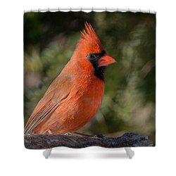 Male Northern Cardinal 3 Shower Curtain