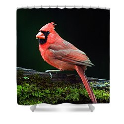 Male Northern Cardinal Cardinalis Shower Curtain by Panoramic Images