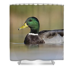 Shower Curtain featuring the photograph Mallard by Bryan Keil