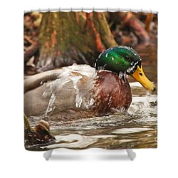Mallard Duck Taking Bath Shower Curtain