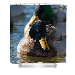 Mallard In The Morning Sun Shower Curtain