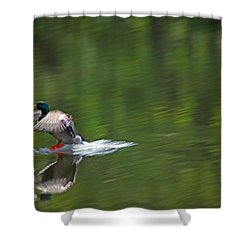 Mallard Splash Down Shower Curtain by Karol Livote