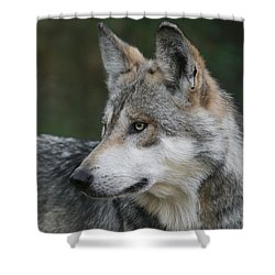 Mexican Wolf #6 Shower Curtain by Judy Whitton
