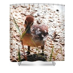 Duckling Searching Shower Curtain by Belinda Lee