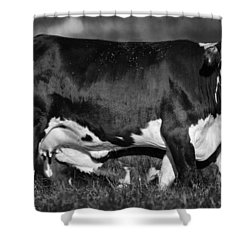 Momma Cow Shower Curtain by Patrick M Lynch