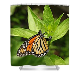 Monarch Egg Time Shower Curtain