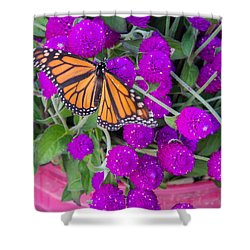 Monarch On Bachelor Buttons Shower Curtain