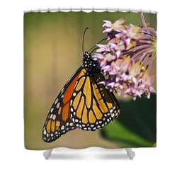 Monarch On Milkweed Shower Curtain by Shelly Gunderson