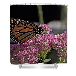 Monarch On Sedum Shower Curtain by Shelly Gunderson