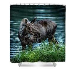 Moose In The Water Shower Curtain by Andrew Matwijec